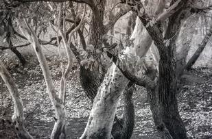 Lajamanu trees