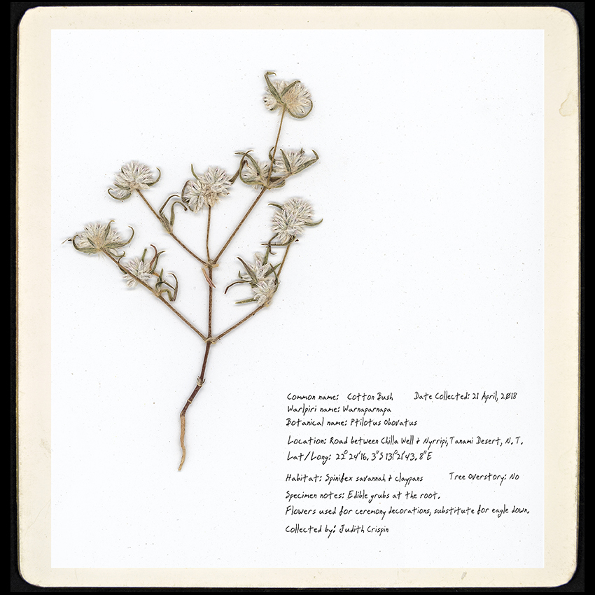 cottonbush (small)